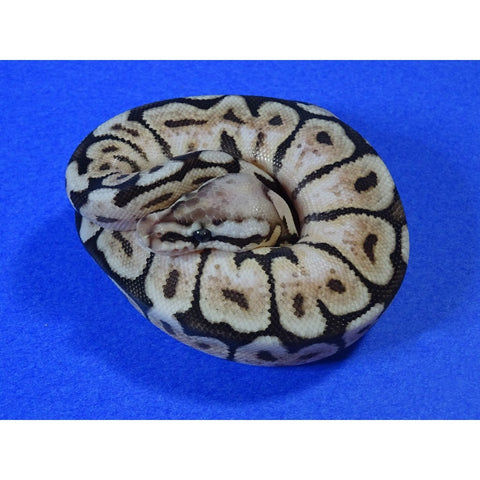 Pewterbee Ball Pythons