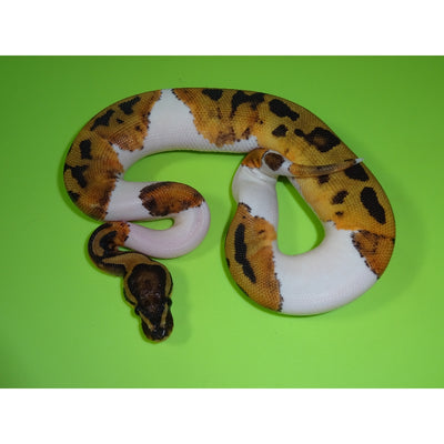 Pied Ball Pythons 10% to 39%