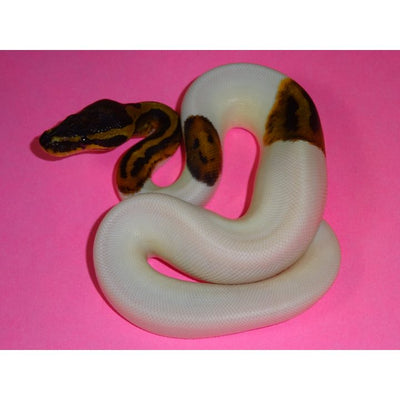 Pied Ball Pythons 75% to 90% White