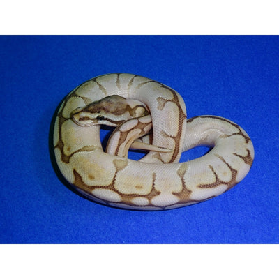 Queen Bee Ball Pythons