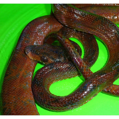 Red Colored Amazon Tree Boas (Rare!)