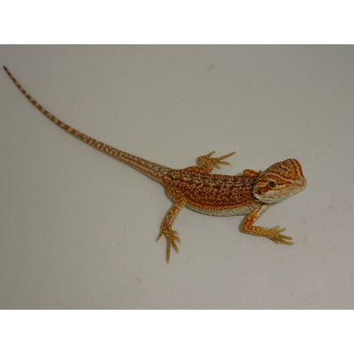 Red Dunner Bearded Dragons