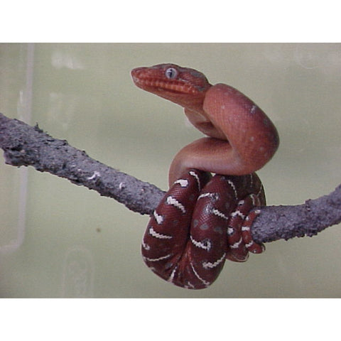 Red Emerald Tree Boa