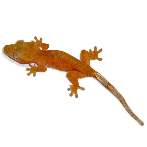 Crested Geckos - Red