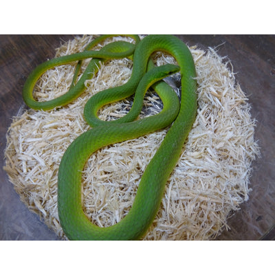 Rough Green Snakes
