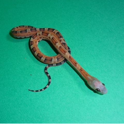 Scaleless Texas Rat Snakes