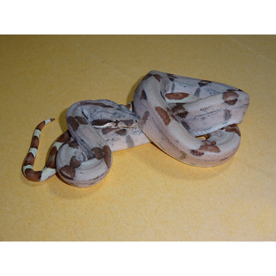 Sunglow Red Pastel Sharp Boas