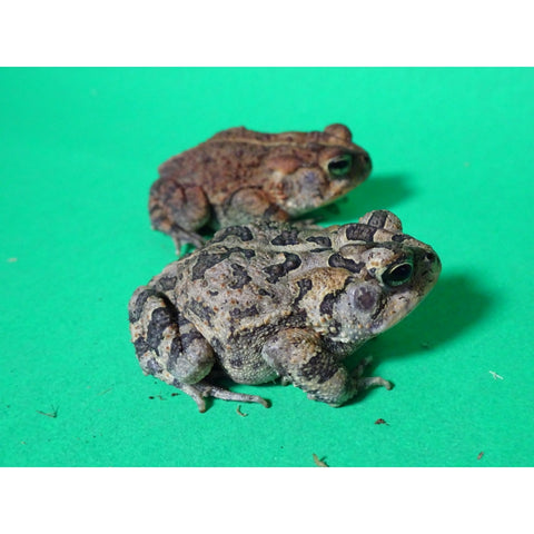 Southern Toads
