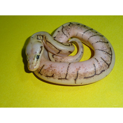 Spinnerblast Ball Pythons