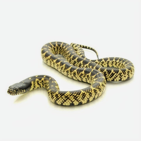 Splendida Kingsnakes