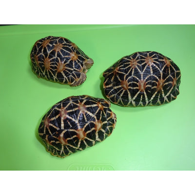 Indian Star Tortoises