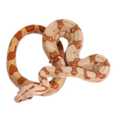 Sunset Red Tail Boas