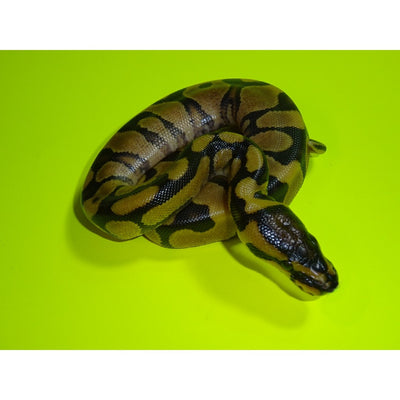 Super Enchi Ball Pythons