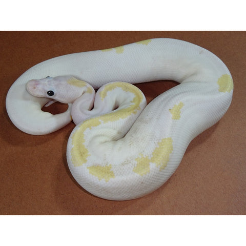 Super Fire Banana Ball Pythons