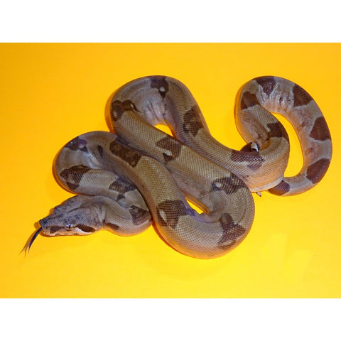 Het T+ Super Hypo Jungle Boas