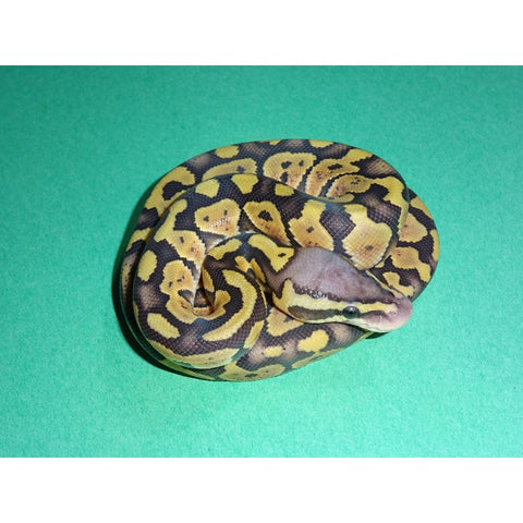 Ghost Super Pastel Ball Pythons