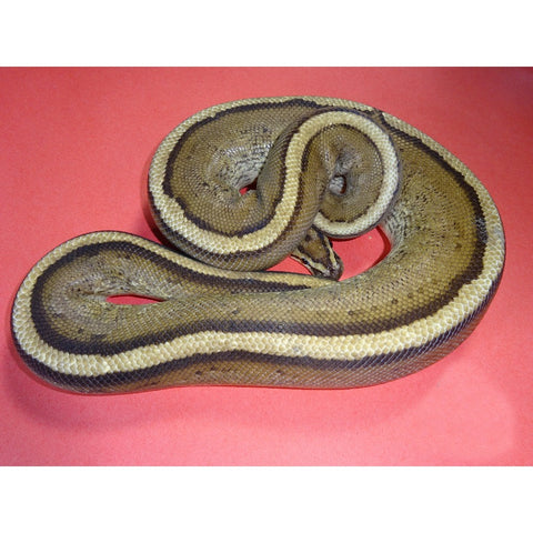 Super Stripe Ball Pythons
