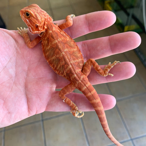 Super Orange - Red Hypo Translucent Bearded Dragons