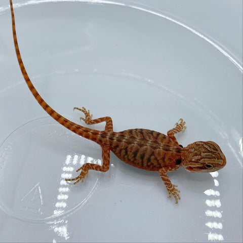 Super Red Translucent Leather Bearded Dragons