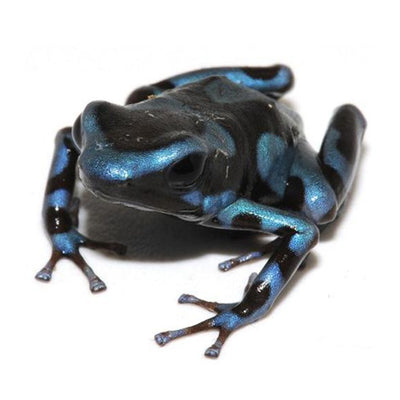 Super Blue Auratus Dart Frogs