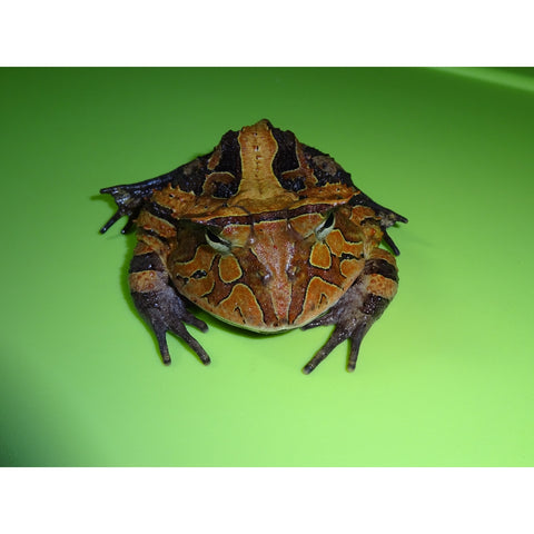 Suriname Horned Frogs (Brown)