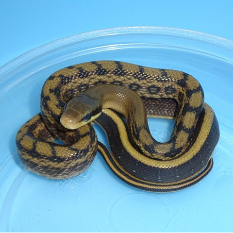 Taiwan Beauty Rat Snakes