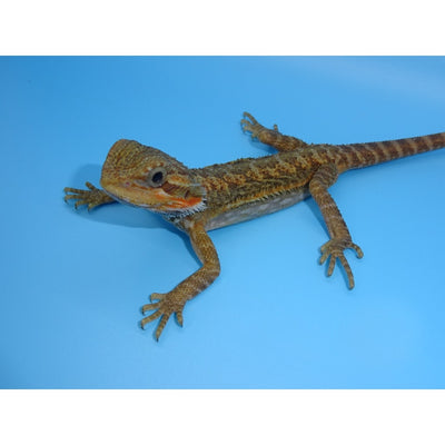 Translucent Bearded Dragons