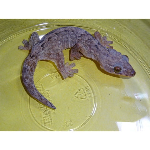 Turnip Tail Geckos