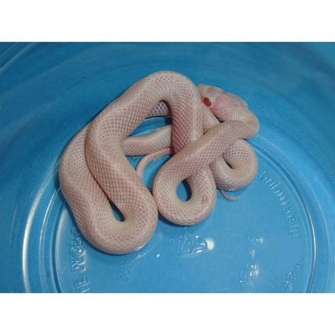 Blizzard Blood Red White Out Corn Snakes