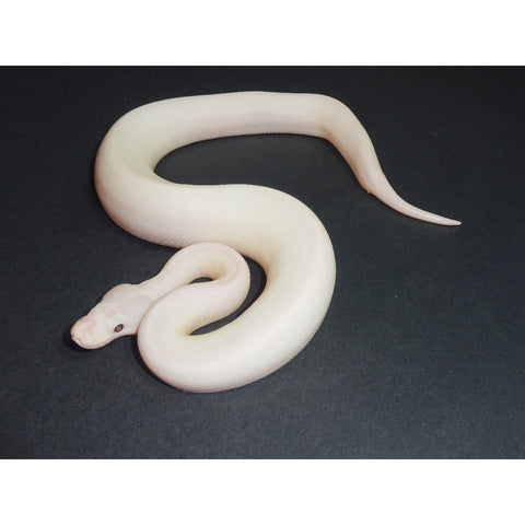 White Wedding Ball Pythons