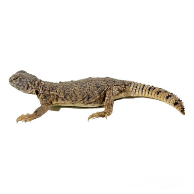 Dispar Uromastyx