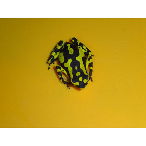 Yellow Atelopus Frogs