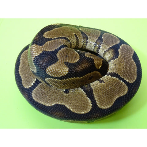 Yellow Bellied Ball Pythons