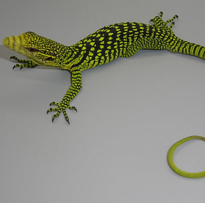 Yellow Tree Monitors
