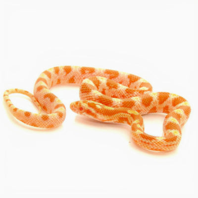 Albino Orange Corn Snakes