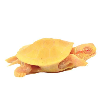 Albino Red Ear Slider Turtles