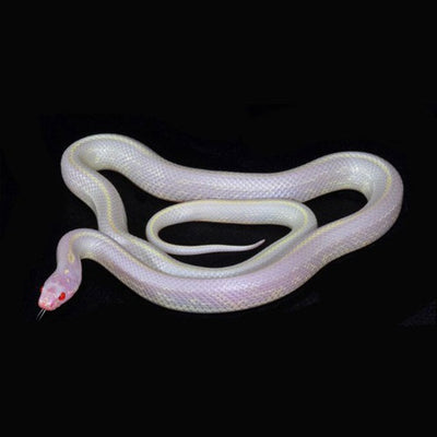 Albino Striped Cailfornia Kingsnakes
