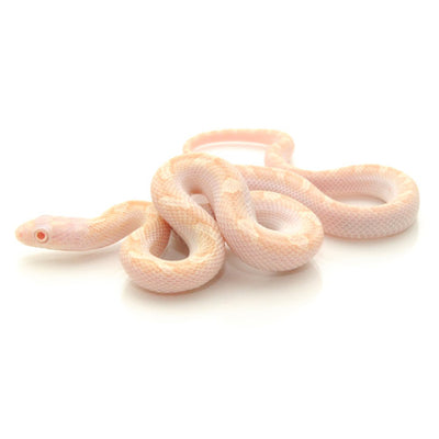 Albino Licorice Rat Snakes