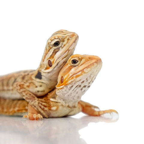 Baby Hypo Silkie Bearded Dragons