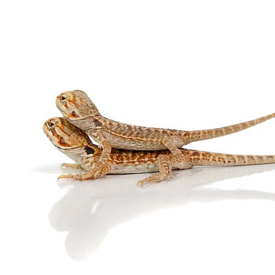 Baby Silky Bearded Dragons