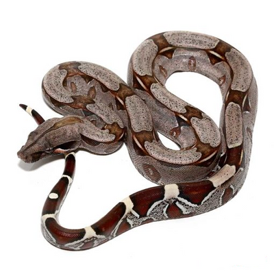 Suriname Red Tail Boas