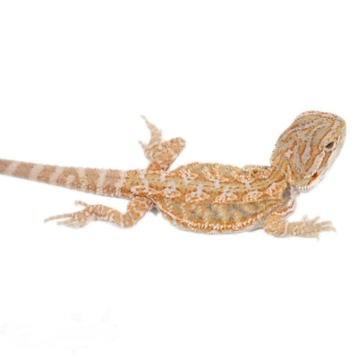Citrus Bearded Dragons