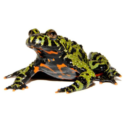 Firebelly Toads (Group of 3)