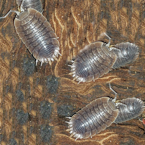 Giant Canyon Isopod Culture