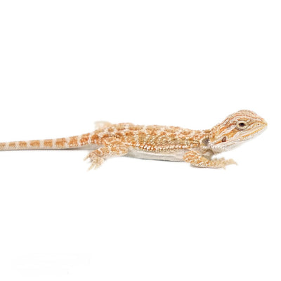 Inferno Bearded Dragons