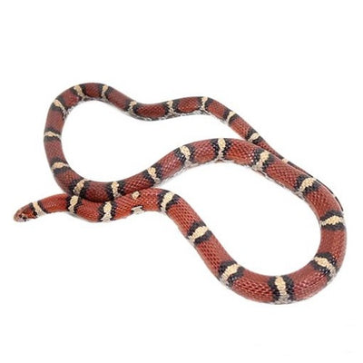 Red Milksnakes