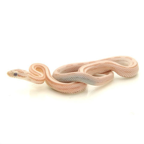 Ghost Striped Corn Snakes