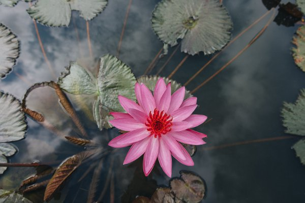 Lotus Flower Symbol, Meaning and History