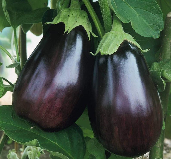 "Black Beauty Eggplant, 100% Organic ""HEIRLOOM"" Seeds 50+, Grown in USA - Eagle Art"