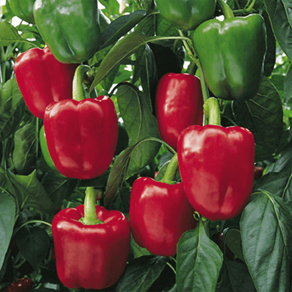 "Large Bell Pepper, 100% Organic ""HEIRLOOM"" Seeds: 30+, Grown in USA - Eagle Art"